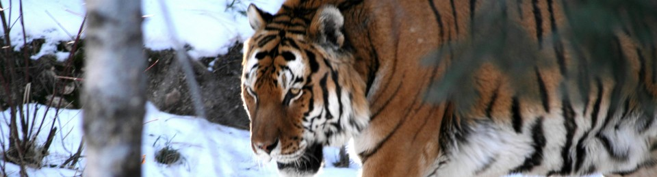 tigersjungle
