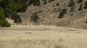 Elk herd, Golden Gate Canyon